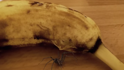 A spider was caught on cam escaping a banana