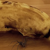 CAUGHT ON CAM: Spider bursting out of a banana!