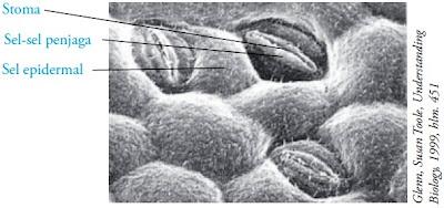 Stomata yang diapit sel penjaga pada lapisan epidermis