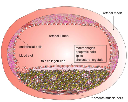 Function of cardiac muscle tissue