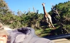 Giraffe Chasing Jeep