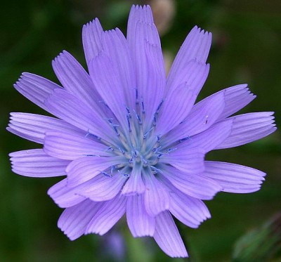 Blue Sowthistle Chicory