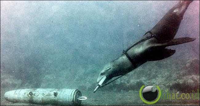 Lumba-lumba Penyapu Ranjau (Mine-sweeping Dolphins)