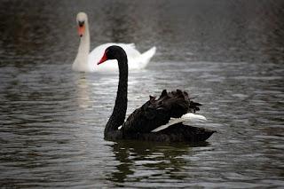 Два лебедя: чёрный и белый