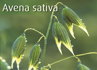 Avena Sativa Reviews