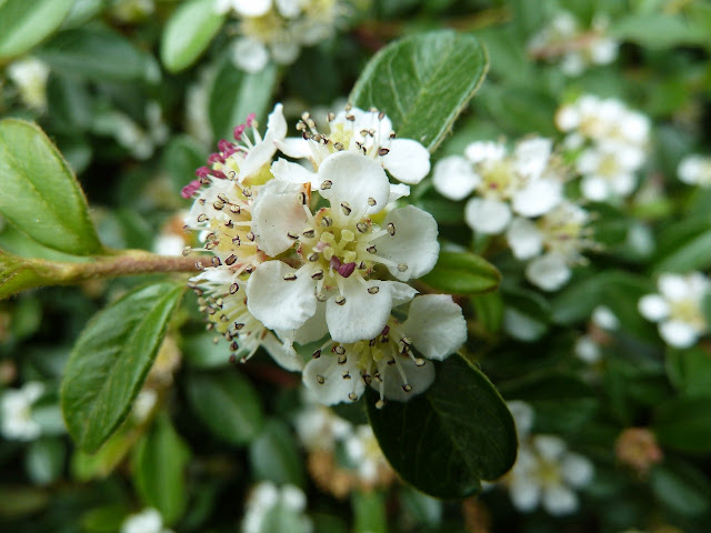 Cotoneaster bloom, Central Park West, New York