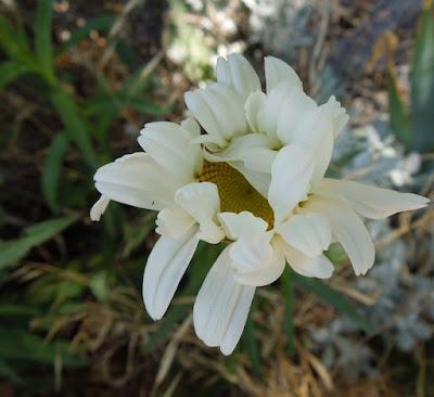 January 28 is National Daisy Day
