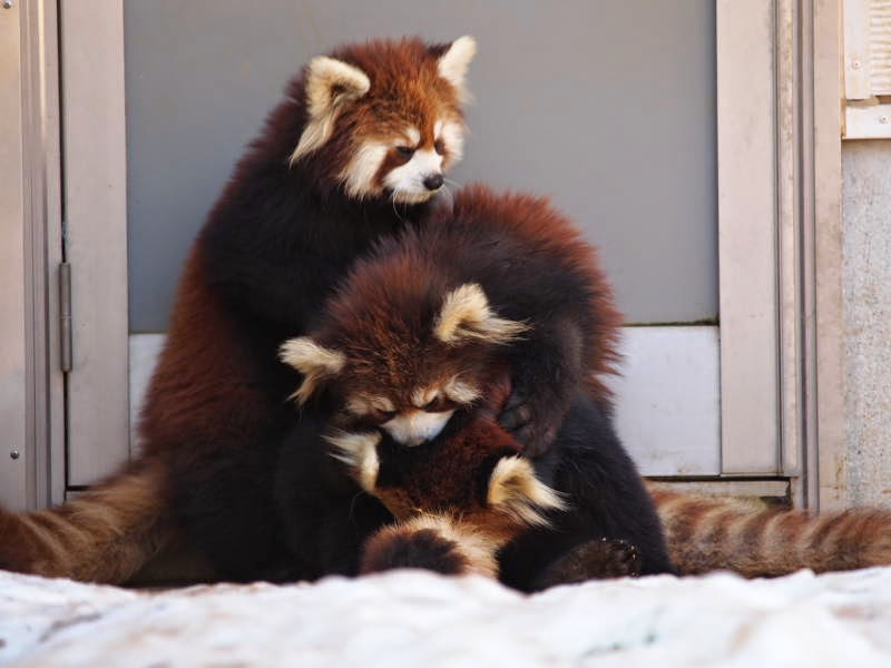 40 Adorable red panda pictures (40 pics), a pile of red pandas