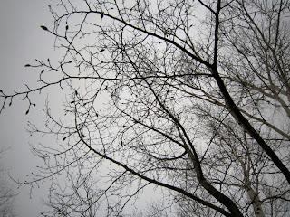 コブシの枝