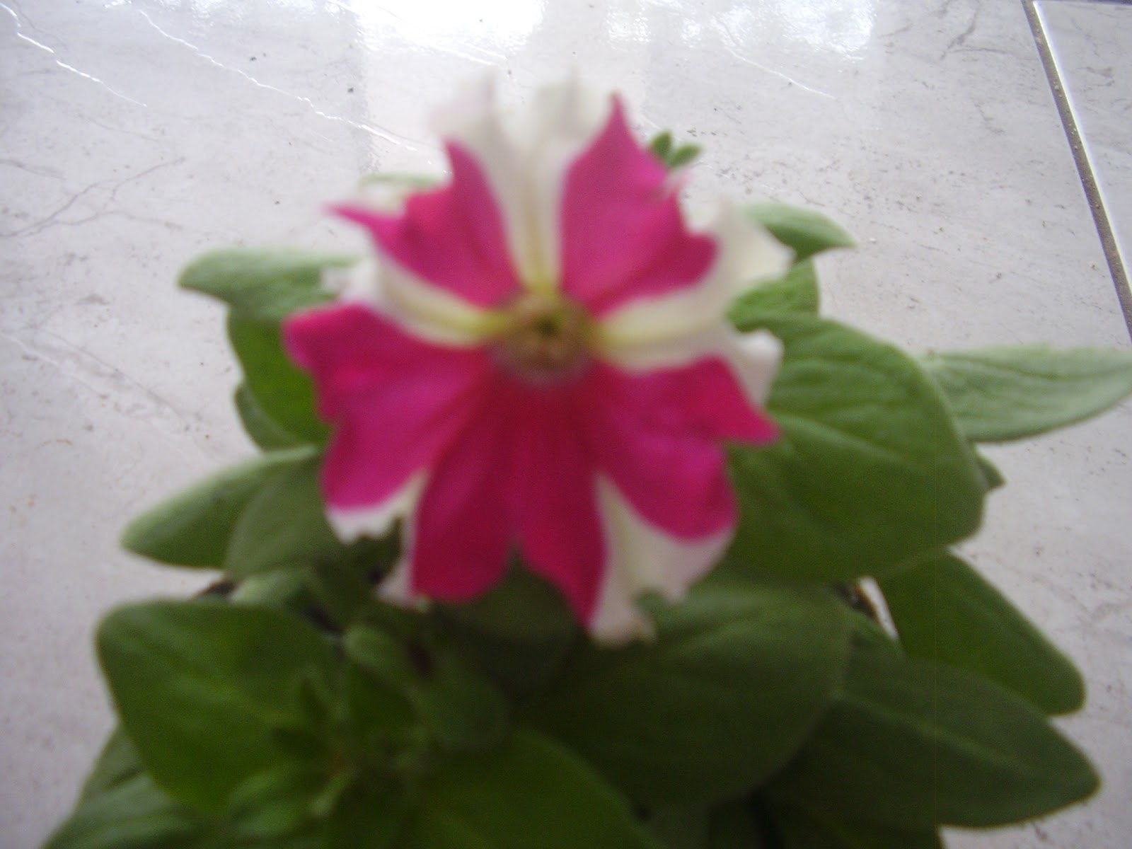 Jardim f cil pet nias s mbolo da sabedoria for Petunie inverno