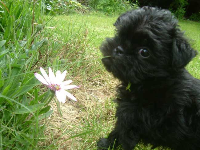 the dog affenpinscher cute dog