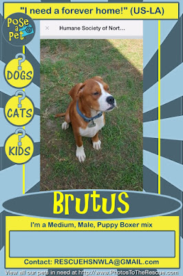 Adoption announcement for Brutus a Boxer mix