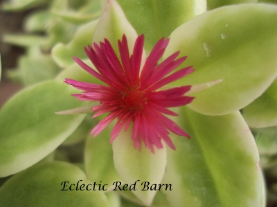 Eclectic Red Barn: Livingstone Red Daisy