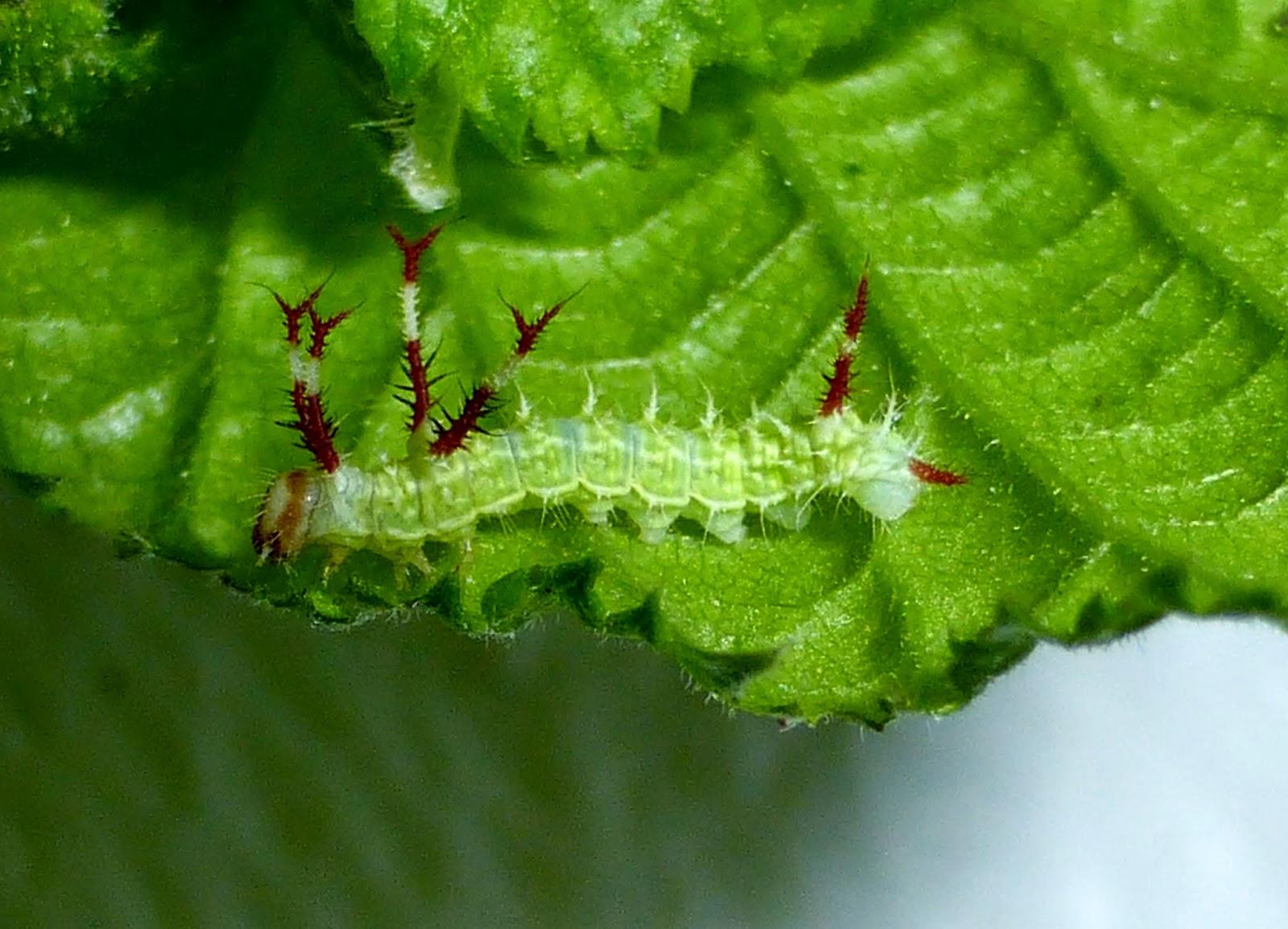 Aglia tau L1 caterpillar