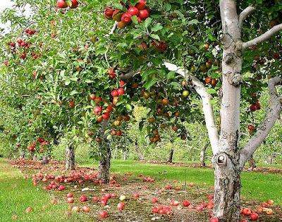 Apple Tree in Bhutan