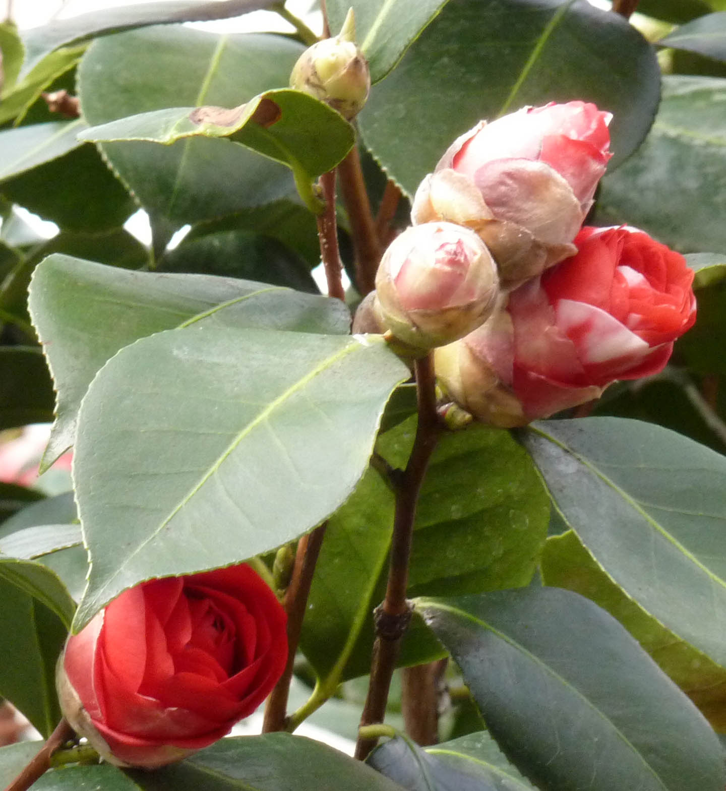 Greenjottings chiswick house camellia festival for Camellia homes