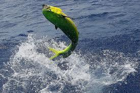GOLD FISH - PESCA DEPORTIVA EN SALTO URUGUAY, CONSULTE AL 099275038