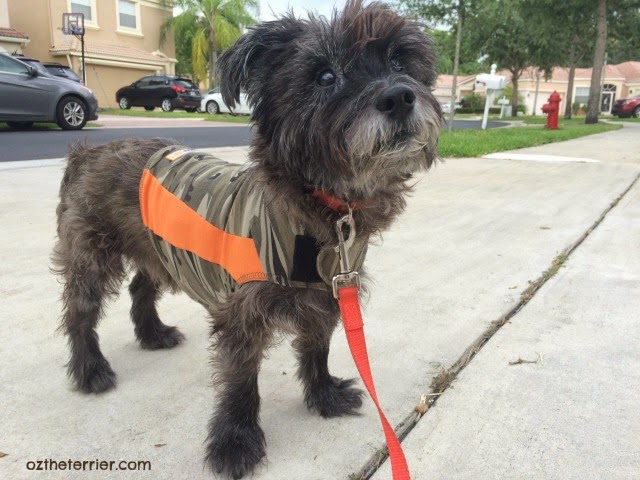 Rainy Season is back in South Florida so Oz wears his Thundershirt