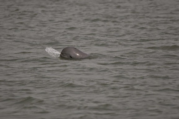 Irrawaddy Dolphins in Puri