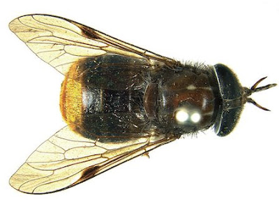 Scaptia (Plinthina) beyonceae