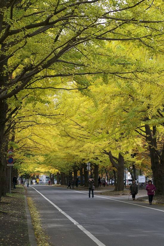 Gingko Avenue, Hokkaido University