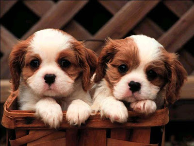 Cute Puppy Desktop Wallpapers