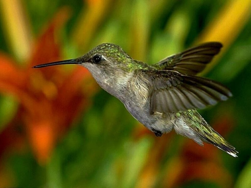 Sketches Of Humming Birds Pc Wallpapers