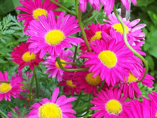 Pyrethrum is a natural insecticide flower
