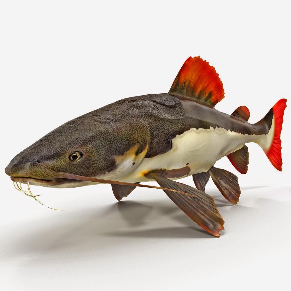Redtail Catfish 3d modelRedtail Catfish