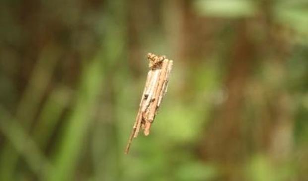 Ulat Kantong (Clania sp. dan Mahasena sp.)