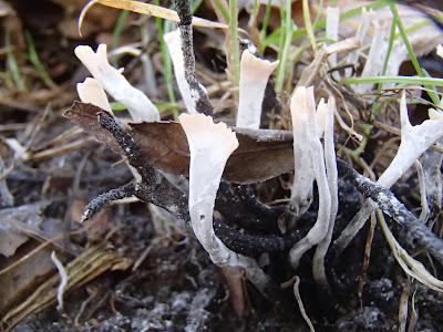 Próchnilec-gałęzisty - Xylaria hypoxylon