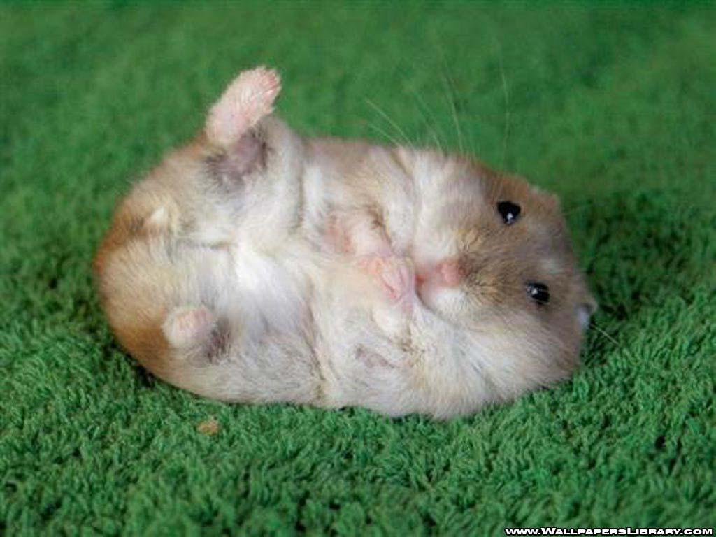 http://3.bp.blogspot.com/-yDwYo-AbP4w/UEzGW1aJqRI/AAAAAAAAAOc/RgjA7hXexdw/s1600/hamster%2B(1).jpg