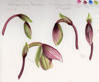 Paph. Maudiae x Charlesworthii study of developing flower ©Polly o'Leary 2015 All rights Reserved