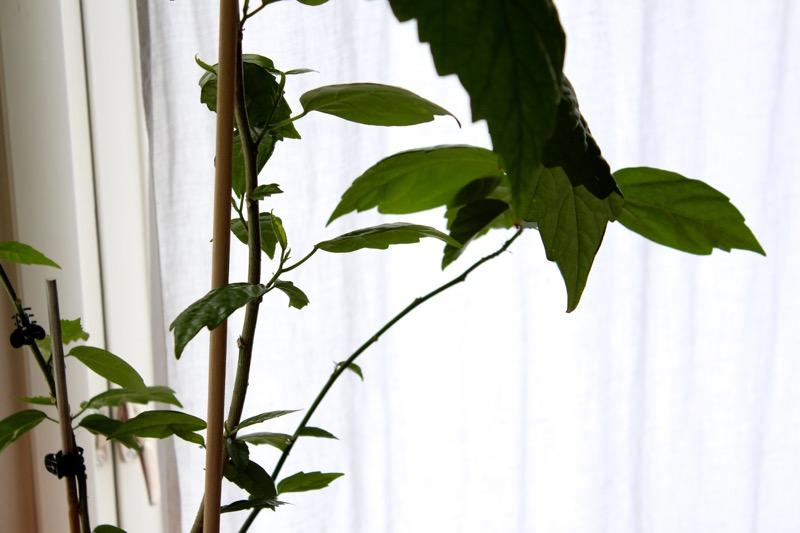 Kiinanruusun lehdet