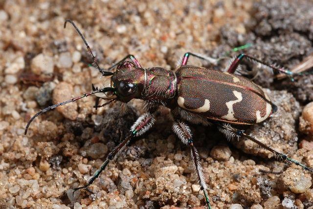 foto kumbang - gambar binatang - foto kumbang