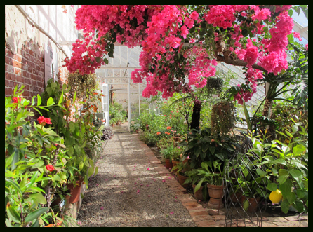 bougainvillea and lemons in greenhouse