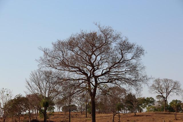 No Cerrado as  árvores perdem suas folhas na estação da seca