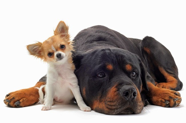 Żywienie psów ras dużych i olbrzymich