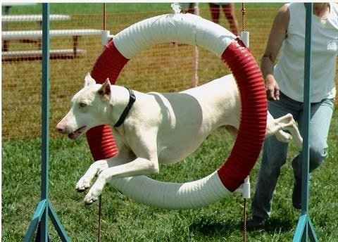 Problems related to white Doberman Pinscher