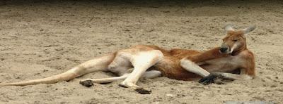 Image de couverture facebook timeline kangourou