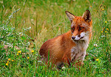 red fox for fox hunting