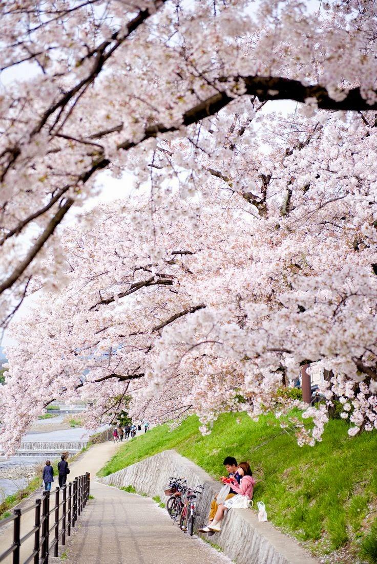 hanami, sakura, kiraz çiçeği