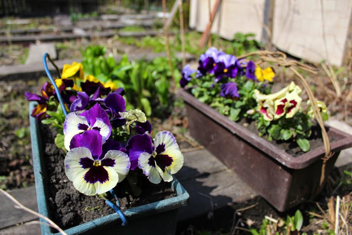 flowers blossoming, flowerpot in spring, spring garden