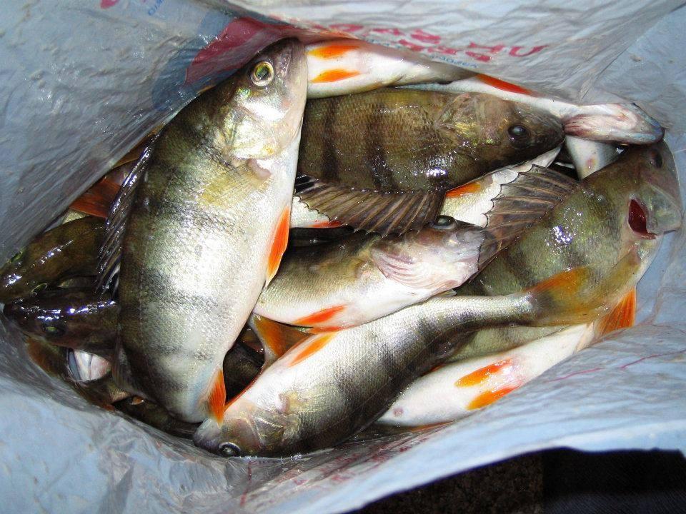 Ricette di pesce del lago trasimeno ricette casalinghe for Pesci di fiume
