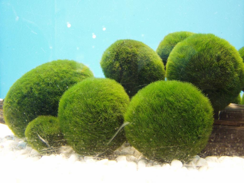 Real monstrosities moss ball for Marimo moss ball