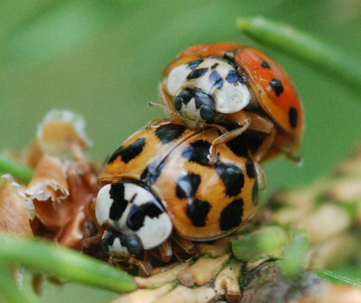 ladybirds - photo #37