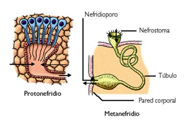 Detalhe do metanefrídeo