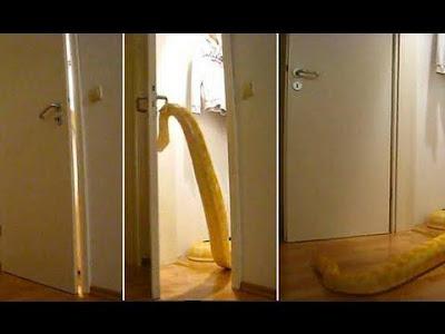 بالفيديو ... حية عملاقة تفتح أبواب المنزل المغلقة