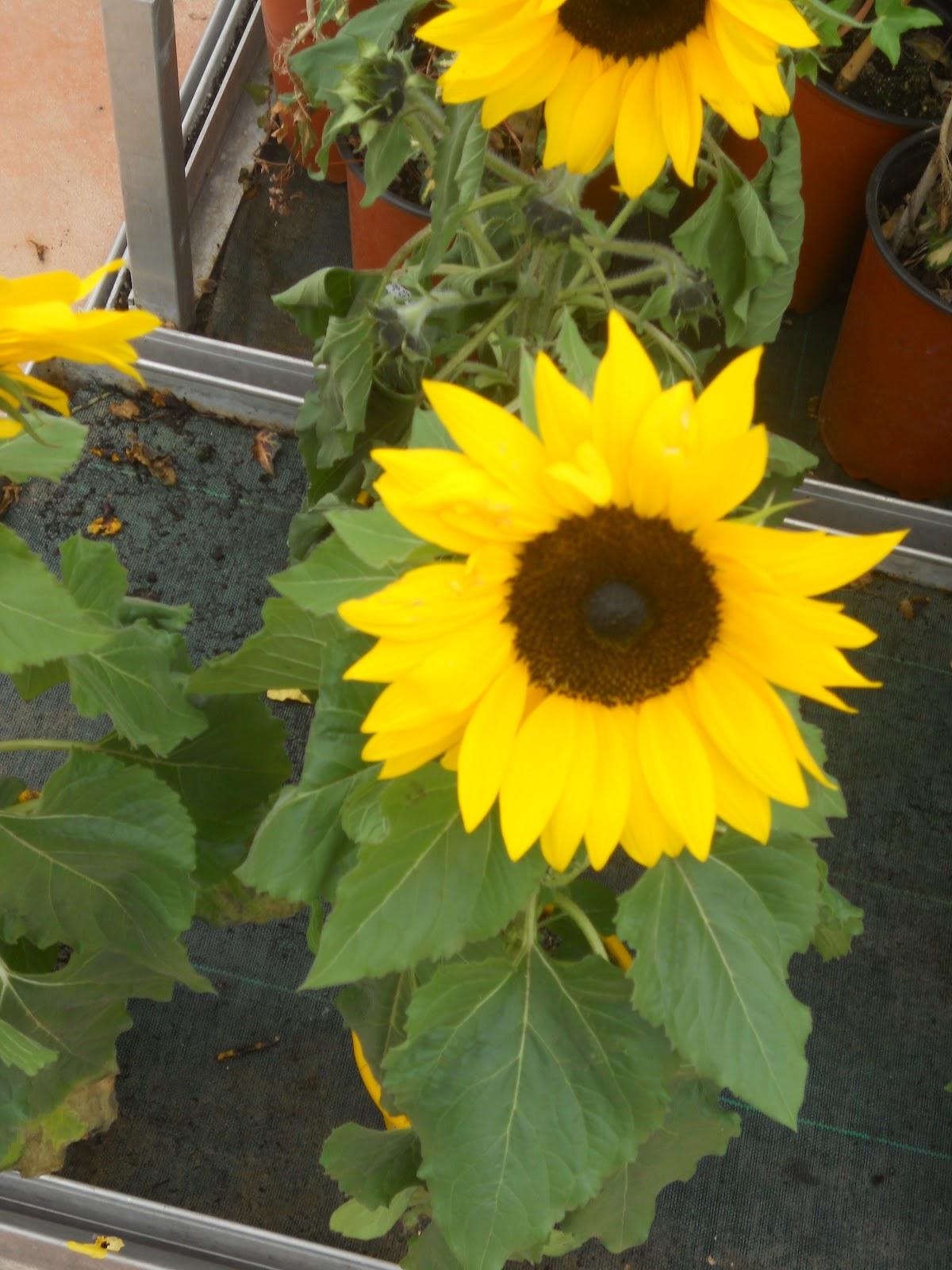 Jardineria eladio nonay jardiner a eladio nonay girasoles - Jardineria eladio nonay ...