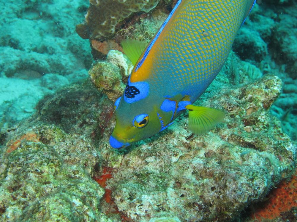 Rambling jill queen angelfish for Queen angel fish